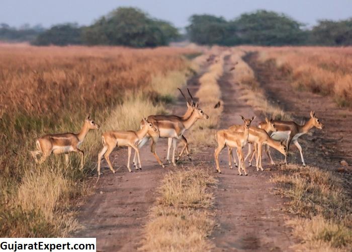 Blackbuck National Park – The Most Popular National Parks in Gujarat