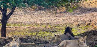 Asiatic Lion at Gir, Gujarat