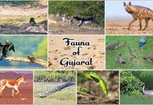 Fauna of Gujarat