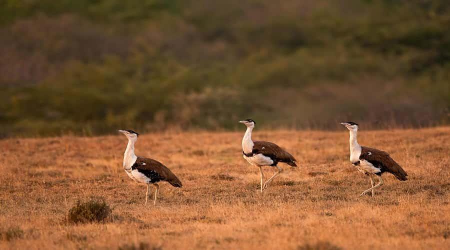 Great Indian Bustard Bird Sanctuary