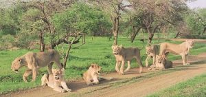 gir lion sanctuary